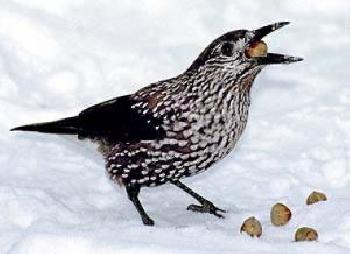 Впервые за многие годы зимой эти птицы появились в окрестностях Киева.
