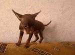 Животные: Карманная собачка
