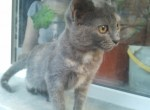 Животные: Британские котята