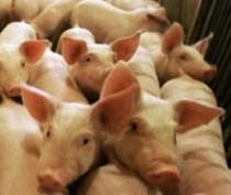 Россельхознадзор запретил ввозить свинину из Украины в Крым