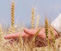 Первые результаты уборочной кампании в Крыму говорят о хороших видах на урожай – глава профильного комитета Госсовета