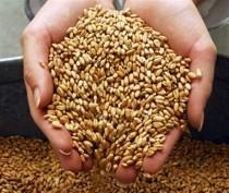 Крымские сельхозпроизводители полностью обеспечат потребность республики в продовольственном зерне – профильный министр