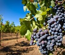 Виноделы из Франции планируют организовать совместное предприятие в Крыму