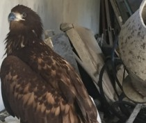 Изъятые у недобросовестных коктебельских бизнесменов четыре хищные птицы пополнили коллекцию Симферопольского зооуголка