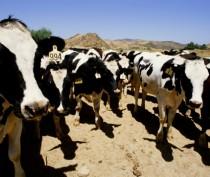 Джанкойский молокозавод «Новатор» раздает телок в бессрочную аренду
