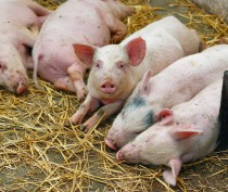 Режим ЧС введён в Советском районе Крыма из-за вспышки африканской чумы свиней