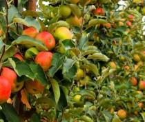 Около 500 гектаров новых многолетних плодовых насаждений появится в Крыму в текущем году