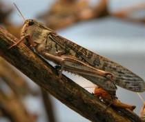 Изменение климата могло стать причиной роста популяции саранчи в Крыму – эксперт