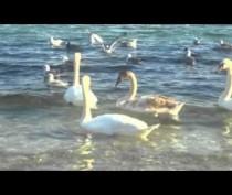 Лебеди в Феодосийском заливе
