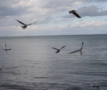 Новости Феодосии: Чайки в Феодосийском заливе