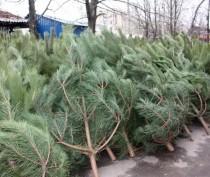 Новости Феодосии: Елка на миллион: за вырубку хвойных деревьев грозят огромные штрафы