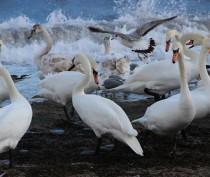 Новости Феодосии: Минприроды отметило эффективность проводимых в Феодосии акций по кормлению лебедей