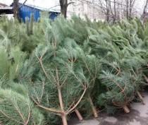 Керчь заработает на елках более 400 тысяч рублей