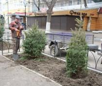 Предприниматели высадили голубые ели на проспекте Айвазовского в Феодосии