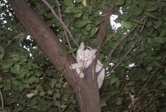Альбом животные - Кошка на дереве - Жара. Кошка залезла на дерево и отдыхает. Снято во дворе дома по улю Земской.
